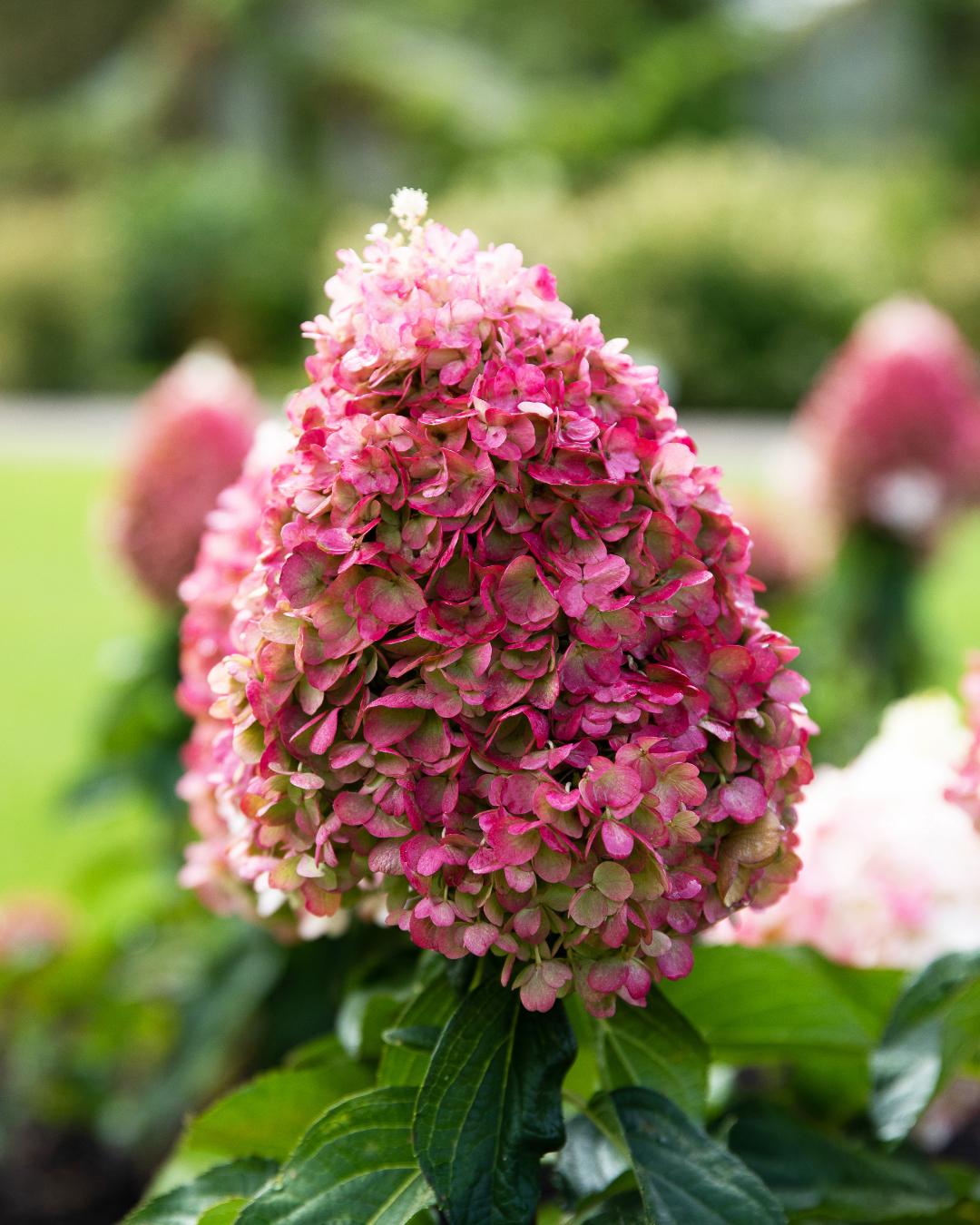 Hortensia Living Pink Promise maakt belofte waar