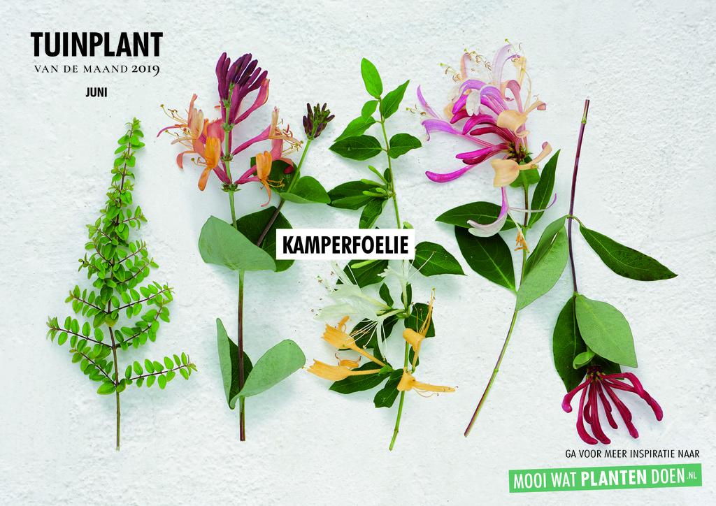 Kameprfoelie Tuinplant van de maand juni 2019