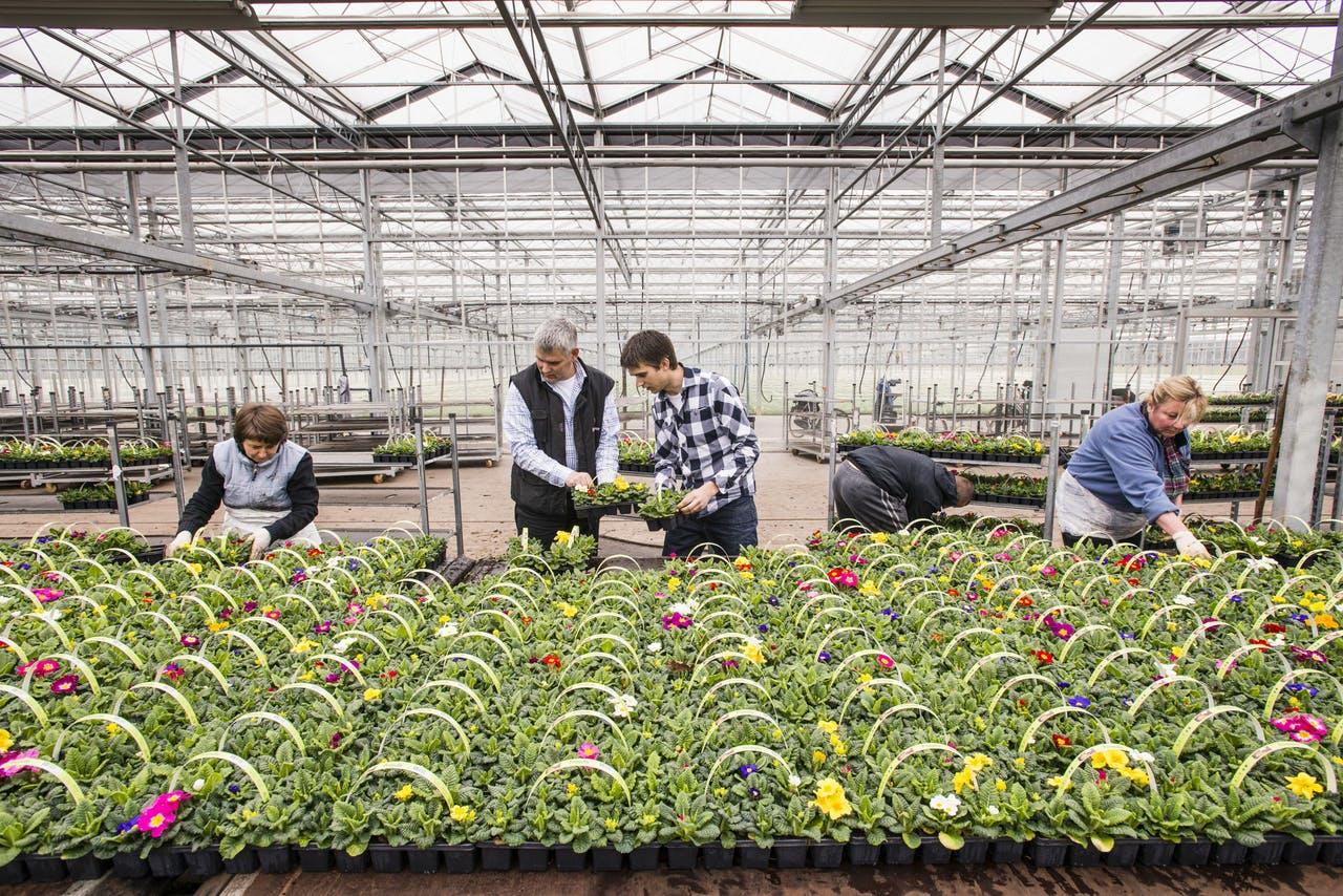 Emsflower violen smart farming