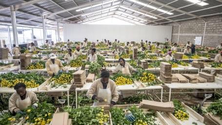 rozen groothandel prijzen